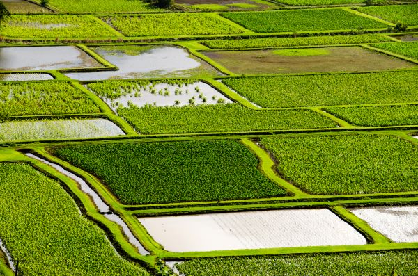taro fields in Hanalei Valley on Kauai in Hawaii