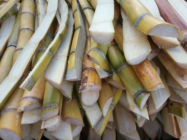 fresh sugar cane at the farmers market