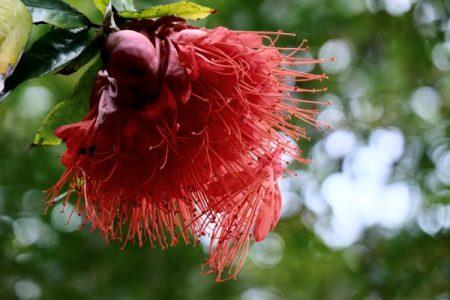 Red Lehua flower