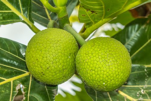 'Ulu (breadfruit) on the tree