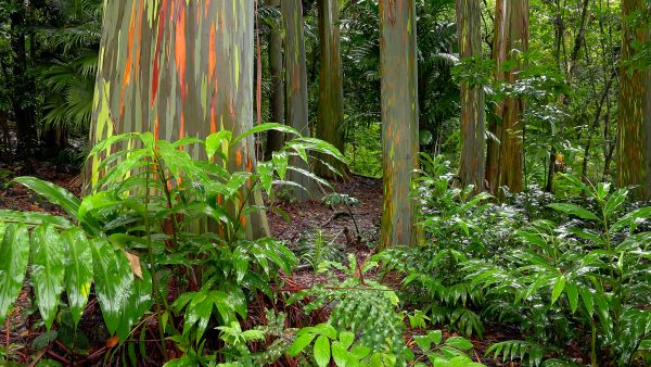 Rainbow Eucalyptus Trees in a tropical forest in Hawaii