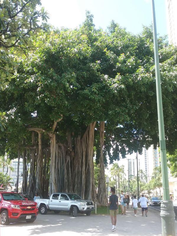 Banyan tree in Waikiki in front of pa hula